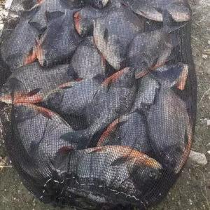 daftar umpan ikan bawal jitu